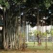 バンヤンツリーで遊ぶ