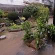 庭の「皇帝ダリア」・倒れました!!・・・いわき