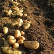 6月17日・ジャガイモ収穫!