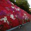 今年のお花見 14 (つどいの丘)