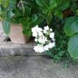 長崎の市花紫陽花