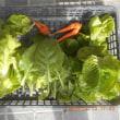 今日の収穫 ニンジン サラダ菜 うまい菜 チマ・サンチュ リーフレタス