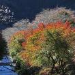 紅葉と桜花のコラボレーション 小原四季桜まつり 5