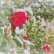 紅い花、白い雪。