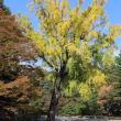 京都御苑で拾ったギンナンから育った大きなイチョウの木〜切ってしまう?それとも残す?