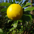 あのレモン