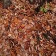 晩秋のシモフリシメジ