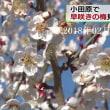 『早咲きの梅』が見頃・小田原 2018年02月12日