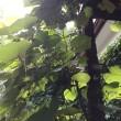 クレマチスの挿し木