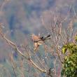 チョウゲンボウが何か獲物を狙っているようです。 (Photo No.14177)