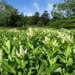 浄土平・鎌沼周辺の開花情報