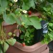 ベランダいちご園 今日の収穫