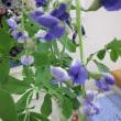 先代萩(せんだいはぎ)という花