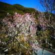 『1月の梅』 金龍寺