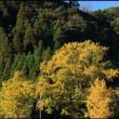 瀧下権現神社の大イチョウ