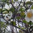 湯宿の山茶花