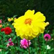 雨の中の神代植物公園・ダリアとバラ