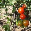 路地トマトが熟れ始めました