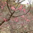吹田市南公園の梅林を見に~