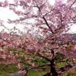 早春の河津桜と県議選候補者への原発アンケート