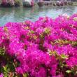 ☆川沿いに咲くツツジ