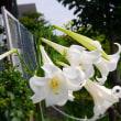 ララさん ユリの花