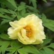 牡丹の花(Ⅲ)