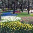 国営ひたち海浜公園2018年の春・・チューリップの森4月9日