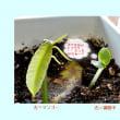マンゴ-の種を植付けし発芽