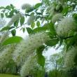 これもサクラ…… 雨中に咲く
