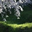 2017年4月22日 桜散る