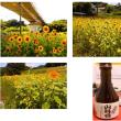2年目の向日葵(H29.8.12)