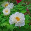 2018.04.19 神代植物公園: 今は見頃、豪華絢爛紅白牡丹