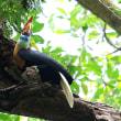 <タンココ保護区で探鳥10>アカコブサイチョウ2 固有種