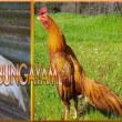 Fakta Menarik Yang Perlu Diketahui Tentang Ayam Jago Bangkok