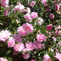 季節の花「山茶花」