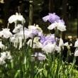 花菖蒲・紫陽花