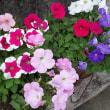 庭の花たちとルーさんをWG-4で撮影する。