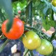 暑い夏のトマト