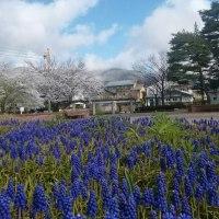 桜とムスカリと里山