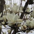 白木蓮も満開!