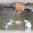 水鳥とヒマラヤザクラ