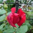雨の後の朝に、とっても美しいアンクルウォルター(二番花)が咲きます
