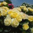 大分便り 日出大神ファームのバラ