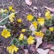 葉が出だし 花びらは散る 福寿草