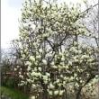 ヤマモモと白木蓮の花
