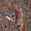 ハス池で飛ぶカワセミ