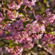 咲き誇る てんれい河津桜 (波切・大慈寺)