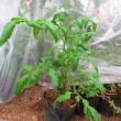 育苗室で越冬中のトマトのその後