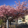 北小金「慶林寺」の河津桜